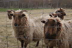 Soay sheep, a breed close to the type of sheep kept in the Iron Age. By Giles Carey.
